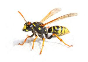 Yellow Jacket Wasp on white background.