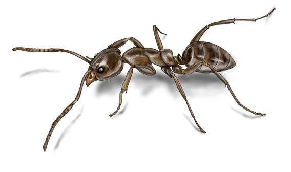 Argentine ant isolated on white background.