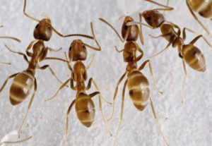 Argentine ants on white background.