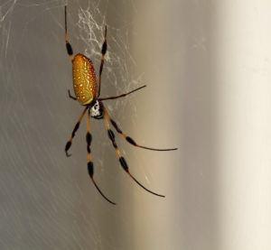 Banana spider isolated on the web.