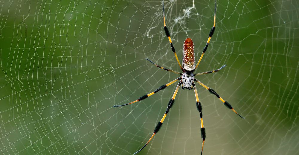 Colorful banana spider in web.