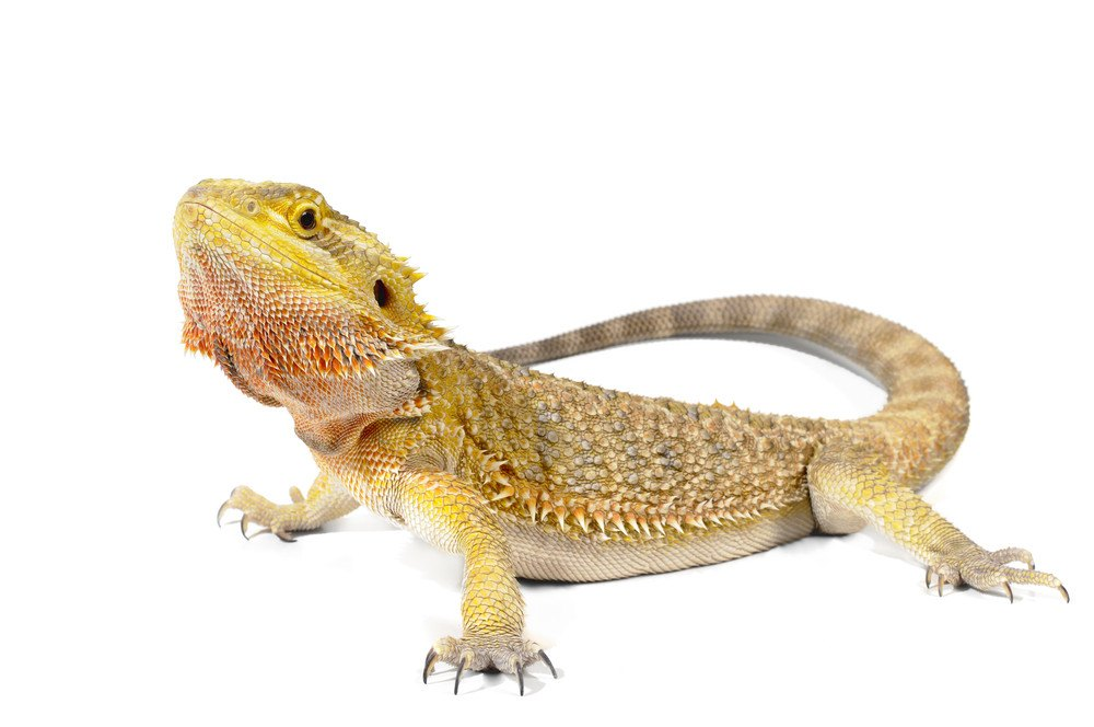 Bearded dragon on the white.