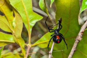 Black widow spider isolated on a plant.