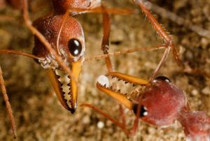 Close up of two bulldog ants' head.