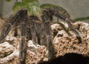 Close-up of a goliath bird eating spider on rock.