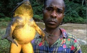 Goliath frog in a black man's hand.