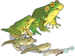 Green frog life cycle on the white.