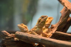Group of bearded dragon lizard in nature.
