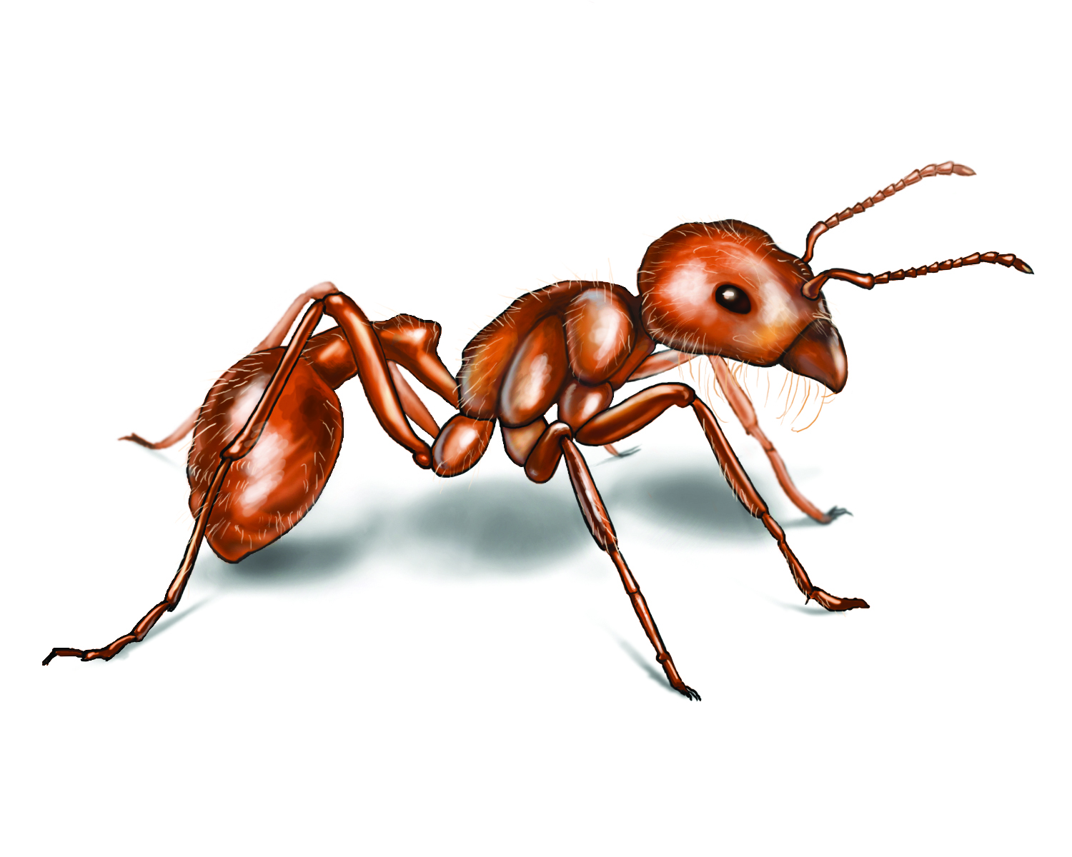 Harvester ant isolated on the white.