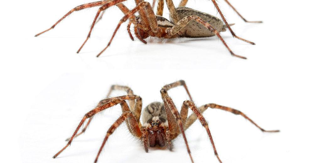 Two Hobo spiders on white background.