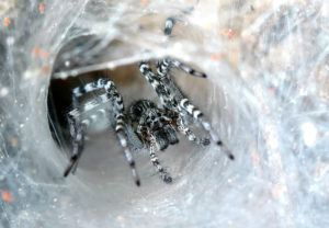 Spider surrounded by its silk.