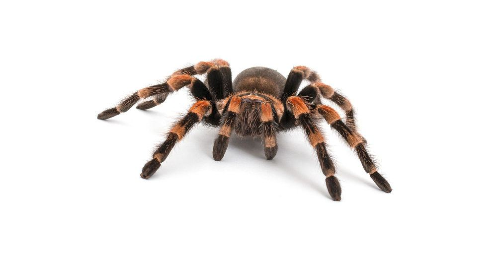 Tarantula isolated on white background.