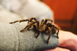 A tarantula spider climbed onto a girl's hand.