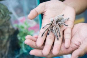 Tarantula spider on the hand as pet.