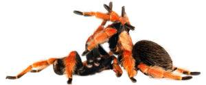 Tarantula mating on white background.