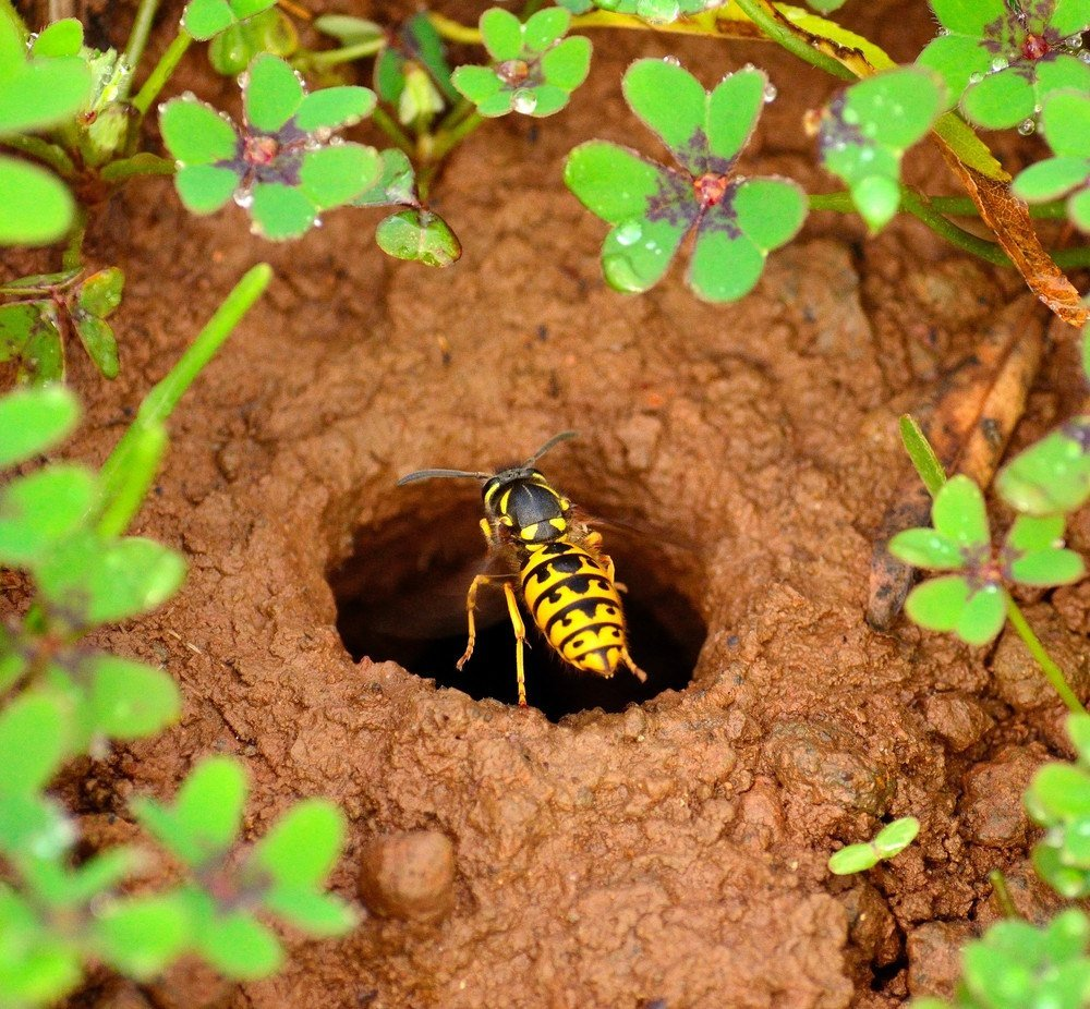 Wasp over the entrance hole of its underground nest.