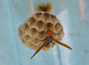 Close-up of wasp on its nest.