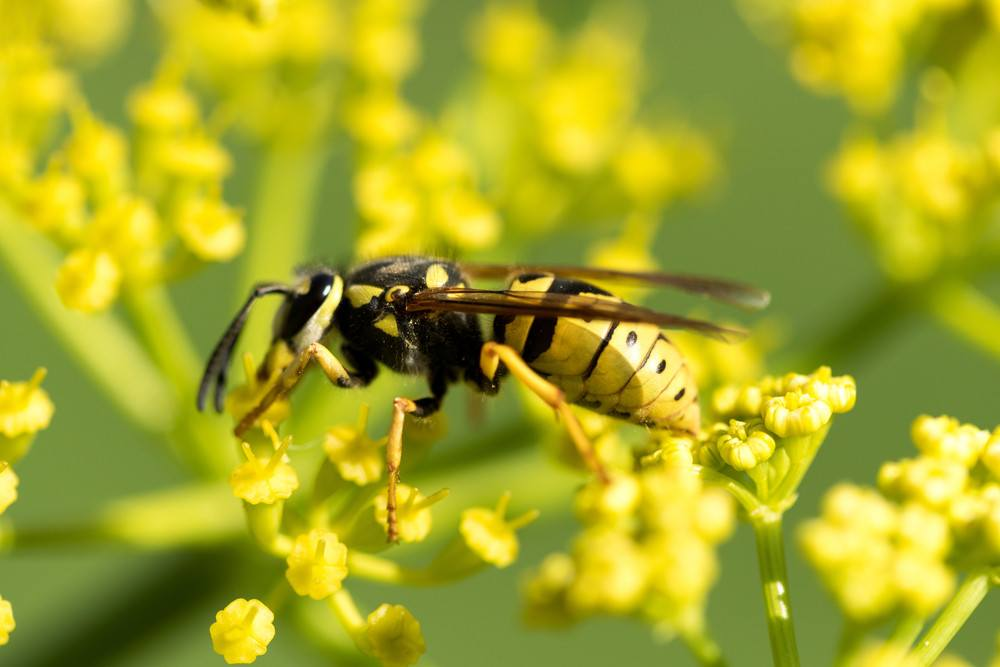 Wasp on a yellow flower close up.