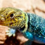 Collared lizard is staring at something.