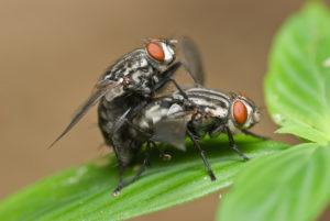Macro shot of two flesh fly mating.