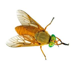 Deer fly with bright turquoise green eyes isolated on white background.