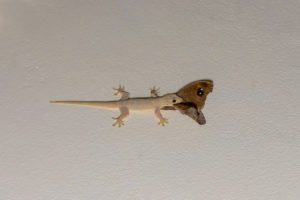 Common house gecko eating common five ring butterfly on the ceiling at night.