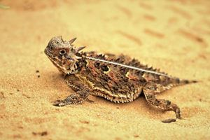 Horned lizard on golden sand.