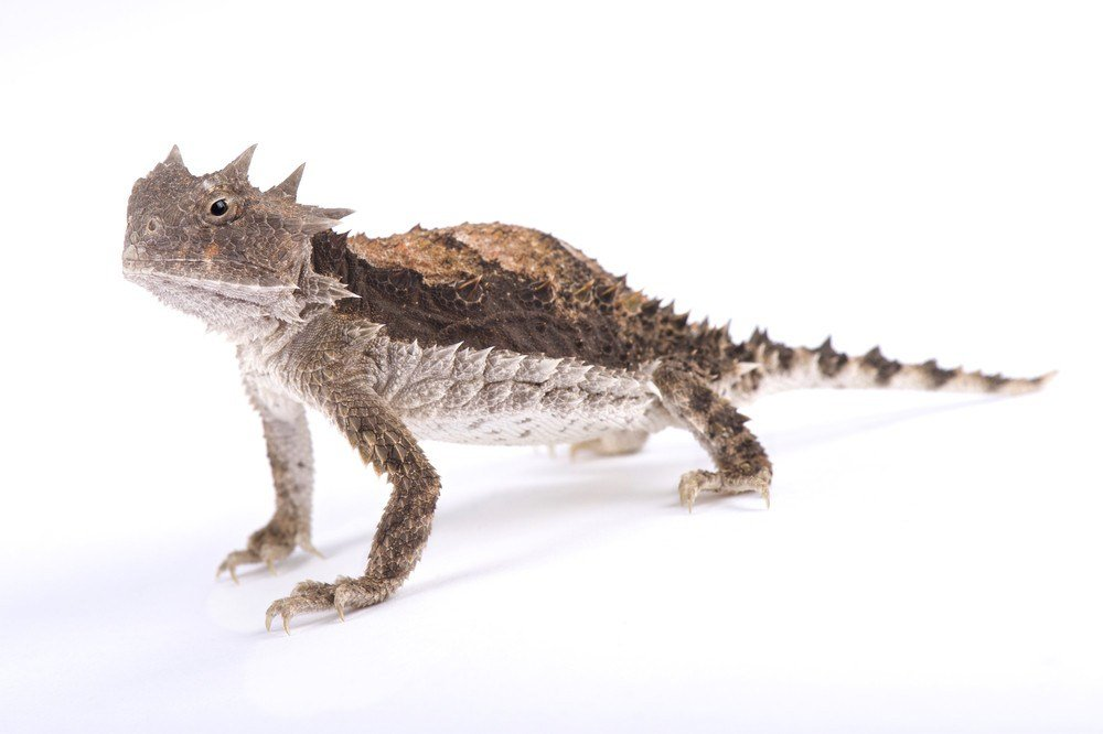 Horned lizard on the white.