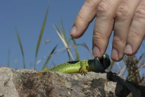 A green lizard is biting human's finger.