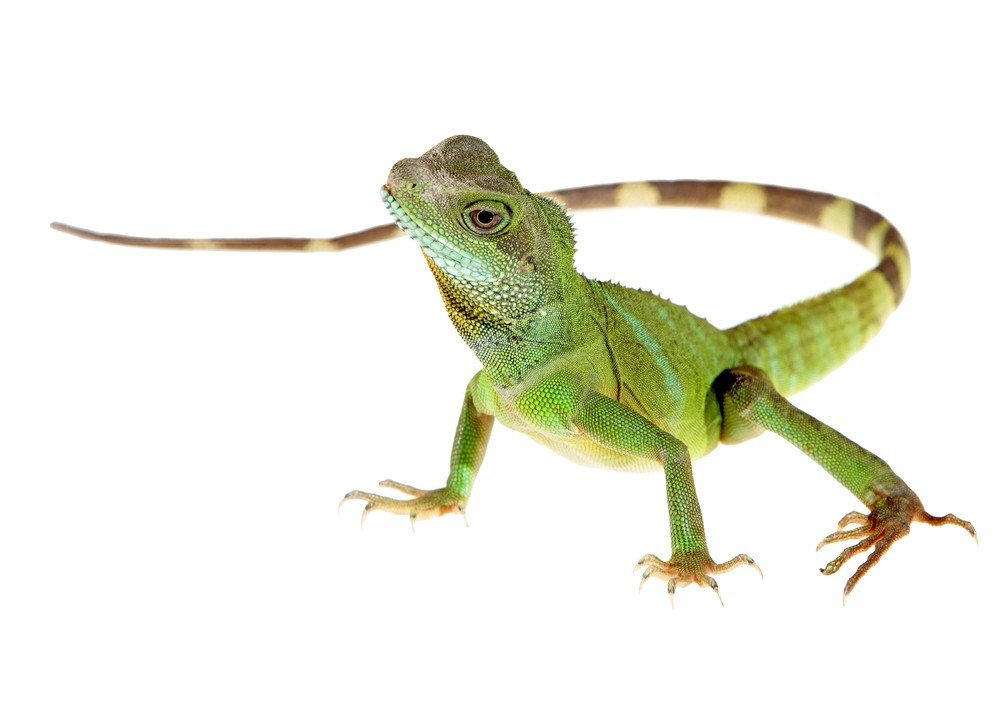 Chinese water dragon on white background picture.