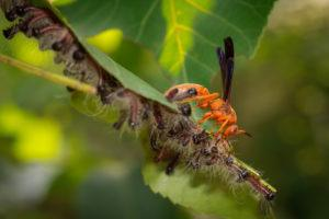 A red wasp preys on hairy, striped caterpillars congregated on a leaf.