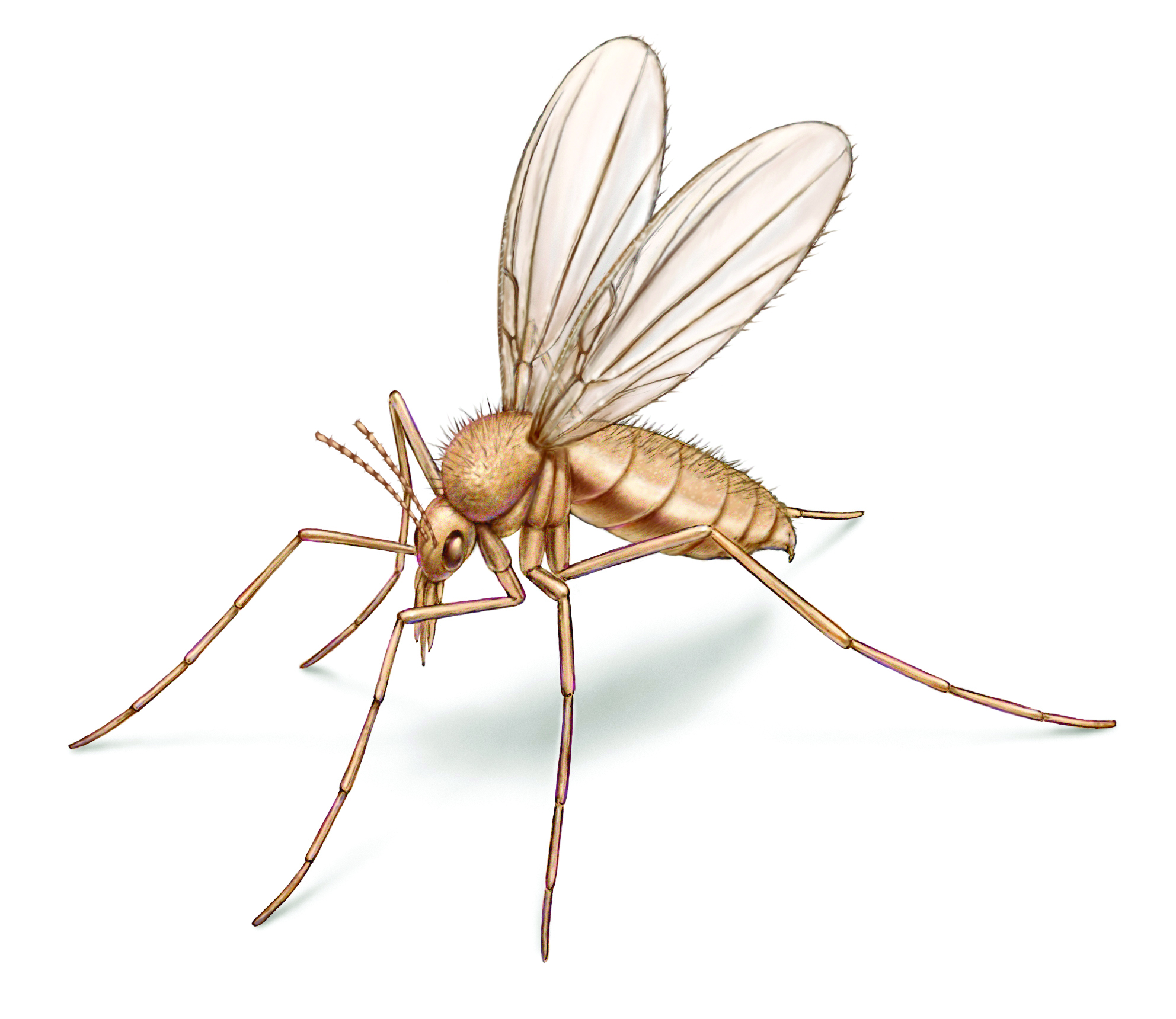 Sand Fly Illustration on white background.