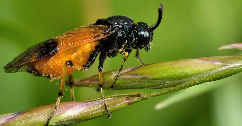 A sawfly in the family Argidae, resting on grass.
