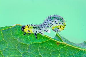 Gooseberry sawfly (Nematus ribesii) caterpillar feeding on currant leaf.