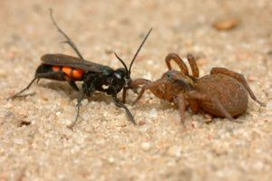 Parasitic wasp Anoplius viaticus with captured wolf spider Trochosa.
