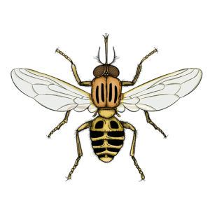 Detailed Vector drawing of a Tsetse fly.