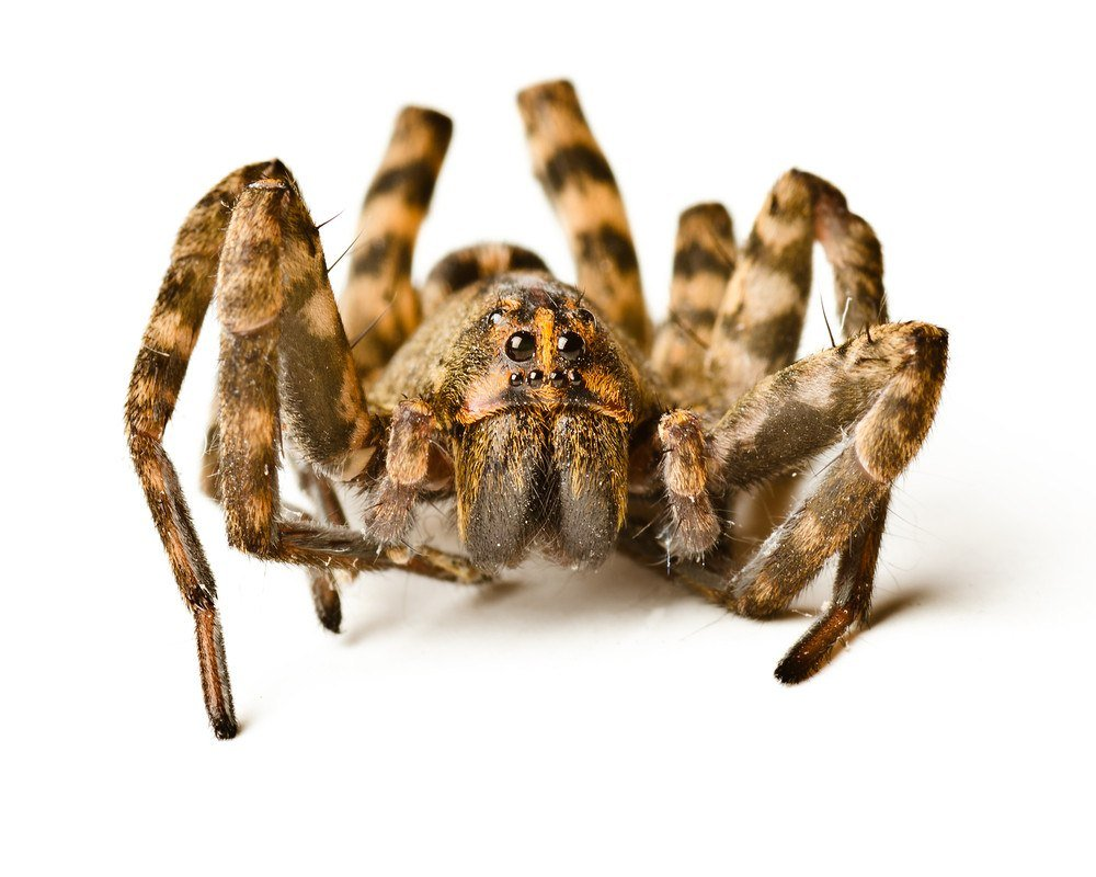 Close up of wolf spider on white background.