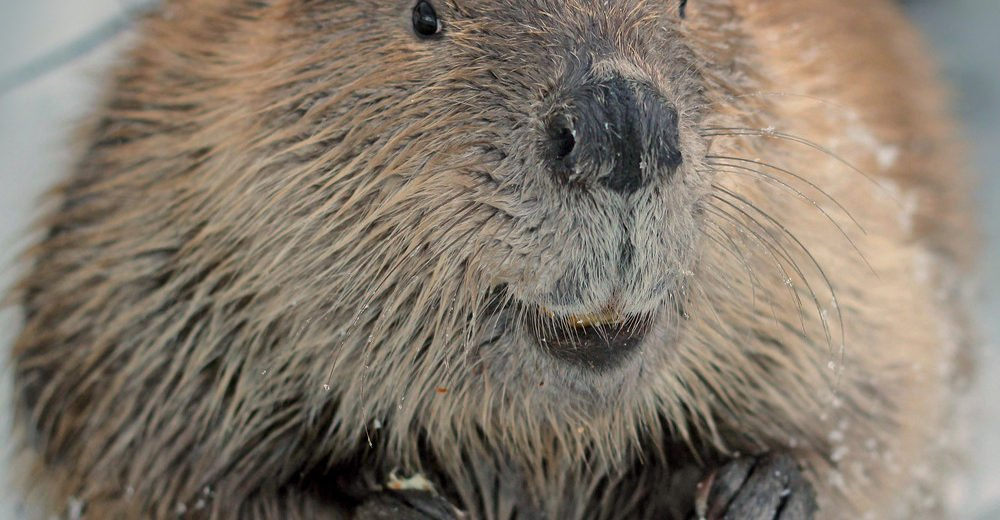 Close-up of a beaver.