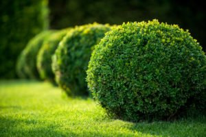 Round boxwood in park.