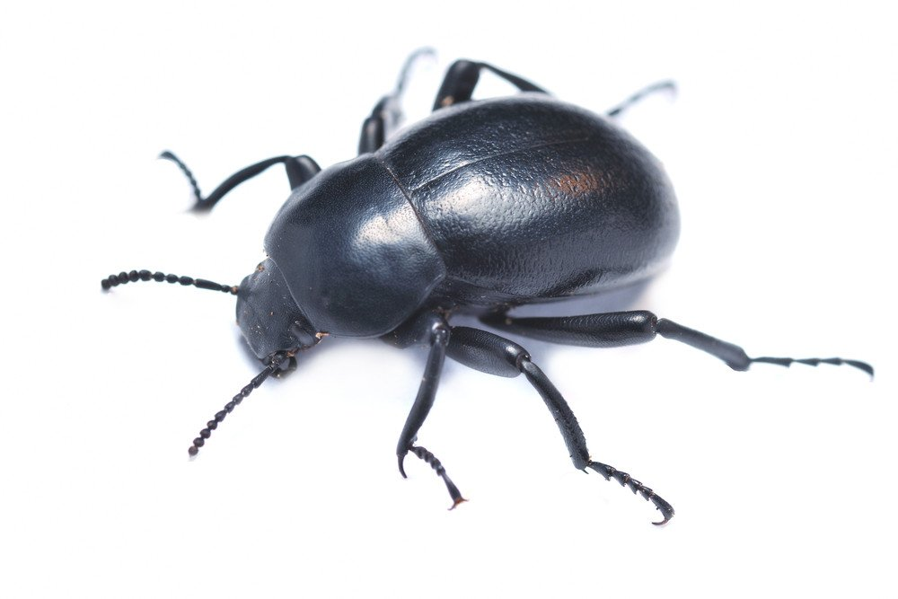 Darkling beetle isolated on the white.