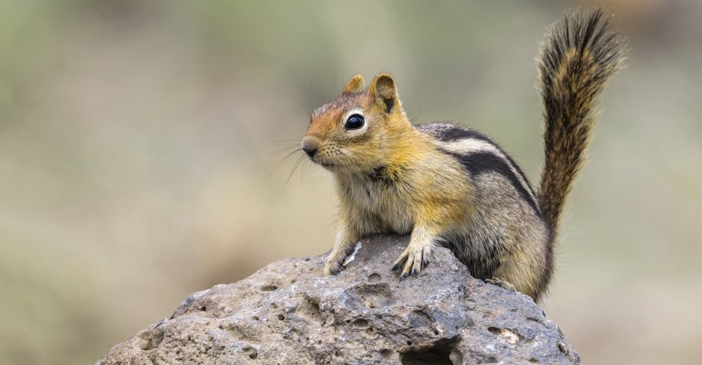 Golden-mantled ground squirrel sitting on the stone.