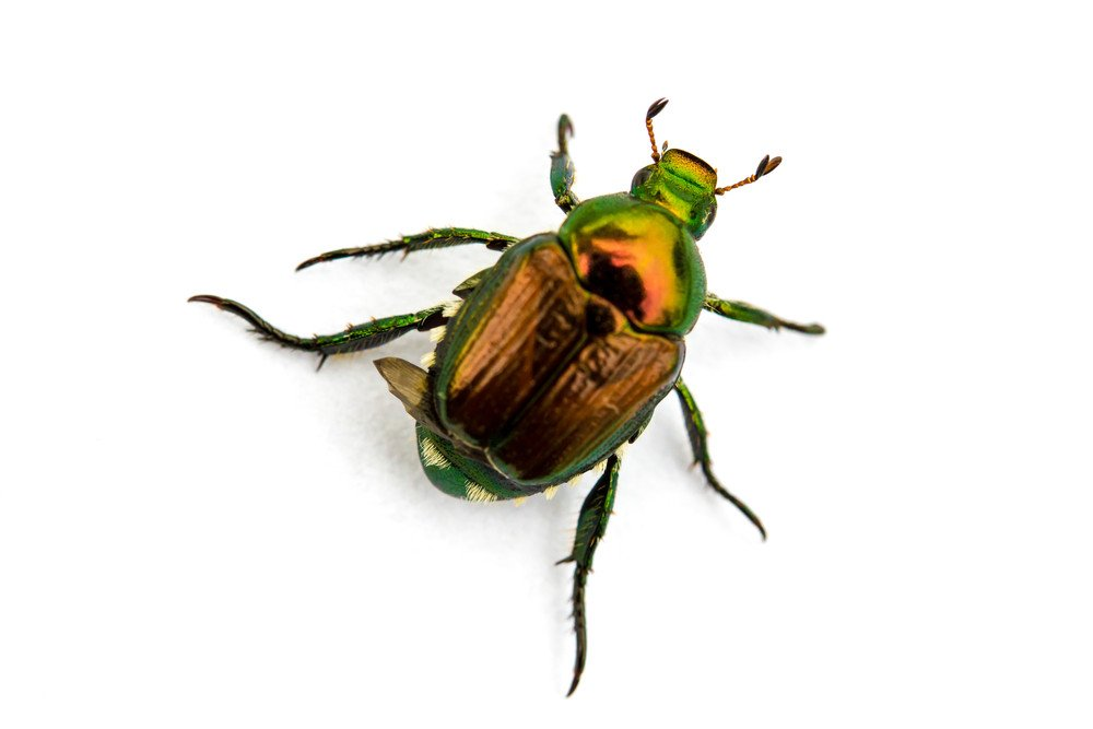 Japanese beetle isolated on the white.