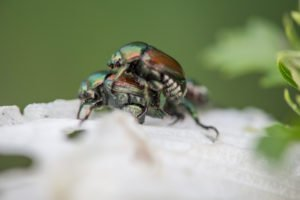 Two Japanese beetles mating on the petals of a white Rose of Sharon.