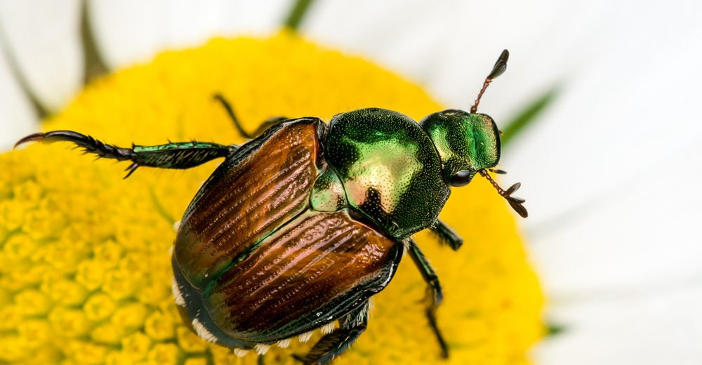 Japanese beetle perched on a white daisy.