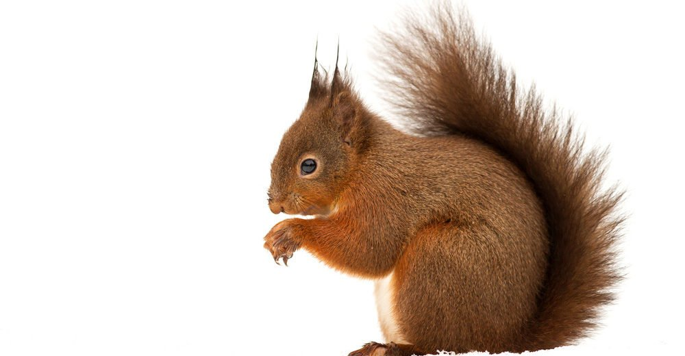 Red squirrel isolated on the white.