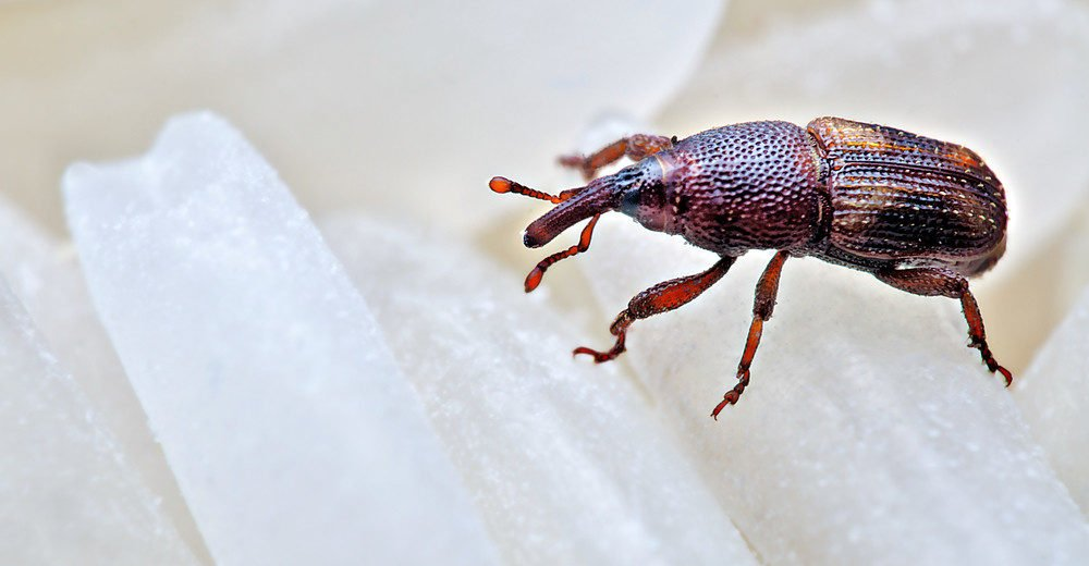 Extreme closeup macro photography of rice weevil.