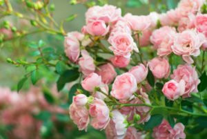 Background of bouquet of pink blooming rose bush.