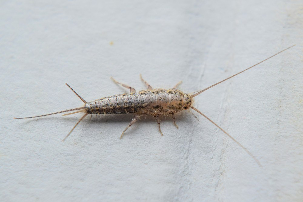 Silverfish feeding on the paper.