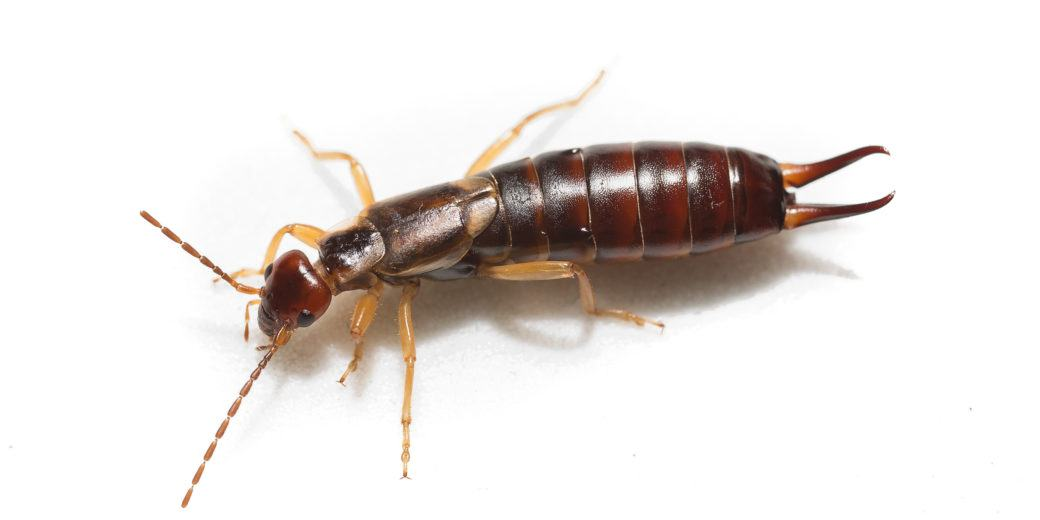 Earwig isolated on the white.