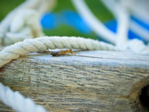 Earwig isolated on a wooden architecture near house.